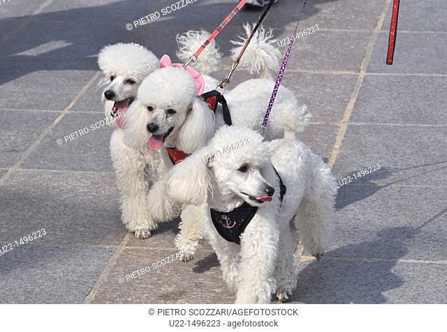 Busan (South Korea): poodles at the leash at Haeundae Beach