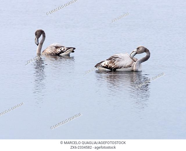 Young Flamingoes (Phoenicopterus roseus). Ebro River Delta Natural Park, Tarragona province, Catalonia, Spain