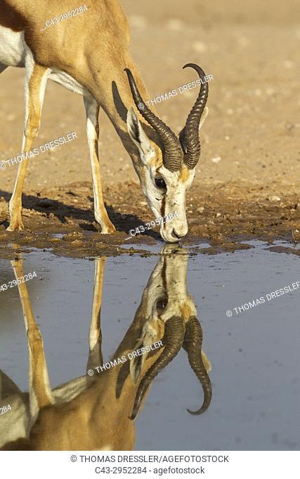 Springbok (Antidorcas marsupialis). Males, drinking at a waterhole. Kalahari Desert, Kgalagadi Transfrontier Park, South Africa