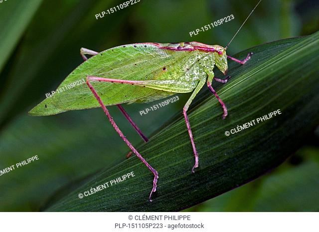 Leaf-mimic katydid (Orophus tesselatus) on leaf, Costa Rica