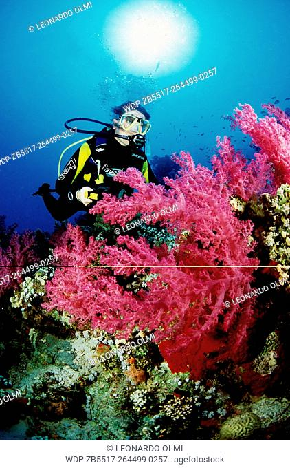Egypt, Red Sea, Sharm el Sheikh, giant red soft coral (Dendronephthya sp.) with diver