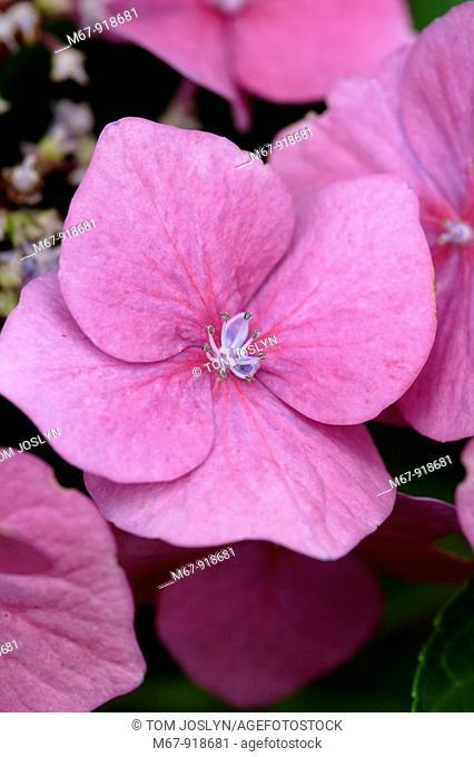 Hydrangea macrophylla flower close up England UK