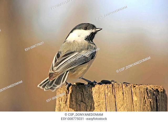 Black-capped Chickadee (Poecile atricapillus)