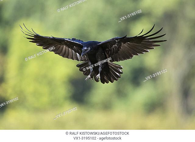Huge Common Raven (Corvus corax) just before landing, in front of blurred green woods.