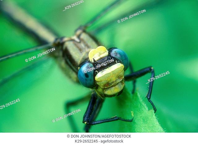 Dragonfly, Canada darner (Aeshna canadensis), Greater Sudbury, Ontario, Canada