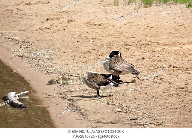 Canada geese with goslings, Finland