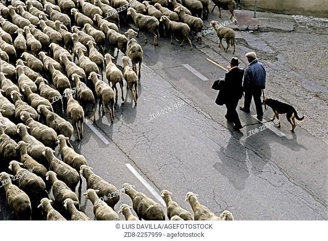 seasonal migration of sheep. zamora