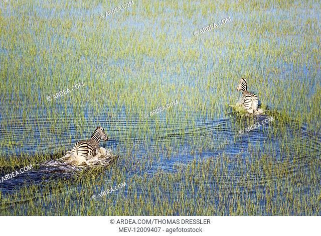 Burchell's Zebra - roaming in a freshwater marsh - aerial view - Okavango Delta, Moremi Game Reserve, Botswana Burchell's Zebra - roaming in a freshwater marsh...