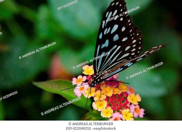 Blue butterfly, Ideopsis sp. from Japan