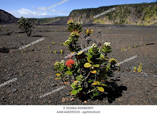 'Ohi'a Lehua (Metrosideros polymorpha) Kilauea Iki Crater, Hawaii Volcanoes National Park, Hawaii, USA, January 2009