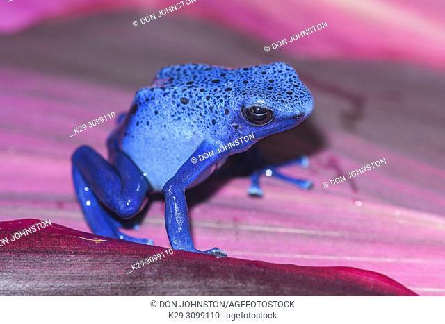 "Dyeing dart frog, tinc or dyeing poison frog (Dendrobates tinctorius) """"azureus"""", Understory Enterprises, Captive raised, Native to: Guyana, Suriname"