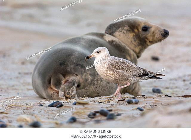 Grey Seal, Halichoerus grypus, Female, Juvenile Herring Gull, Larus argentatus, Lurking on Afterbirth, Europe
