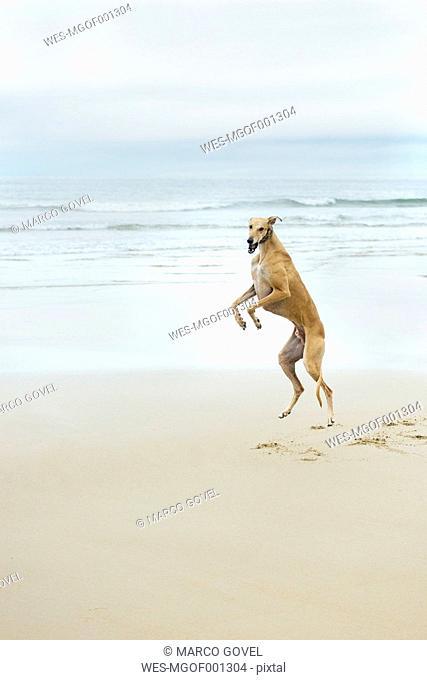 Spain, Llanes, jumping greyhound on the beach