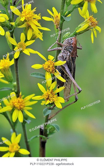 Female Grey bush cricket Platycleis albopunctata grisea on Senecio flowers, Belgium
