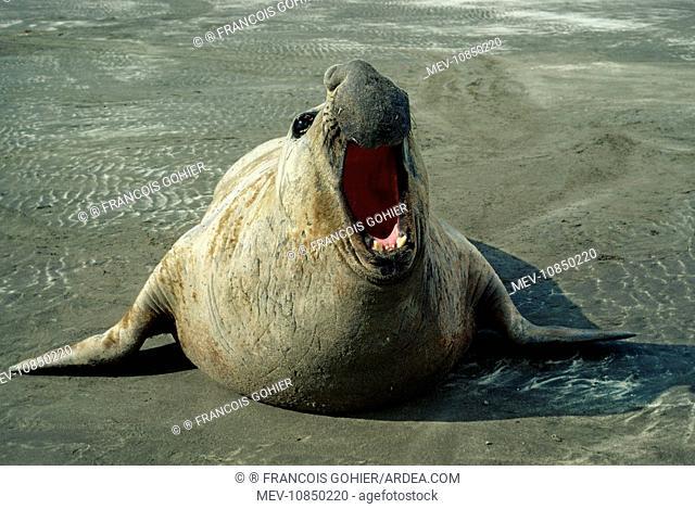 SOUTHERN ELEPHANT SEAL - facing camera (Mirounga leonina). Valdes Peninsula, Argentina