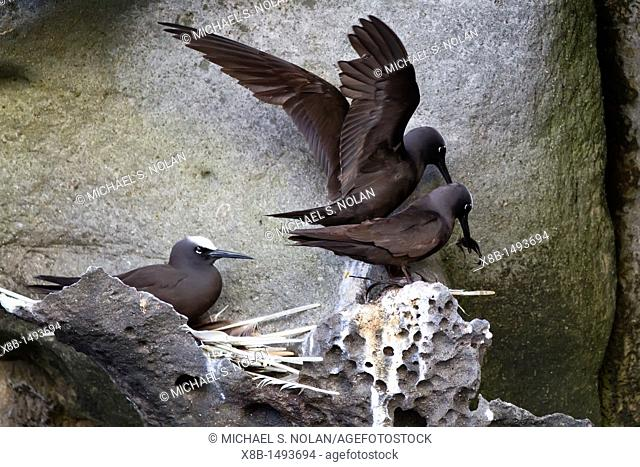 Adult black noddy Anous minutus breeding site on Boatswain Bird Island just off Ascension Island in the southern tropical Atlantic Ocean  MORE INFO This bird is...