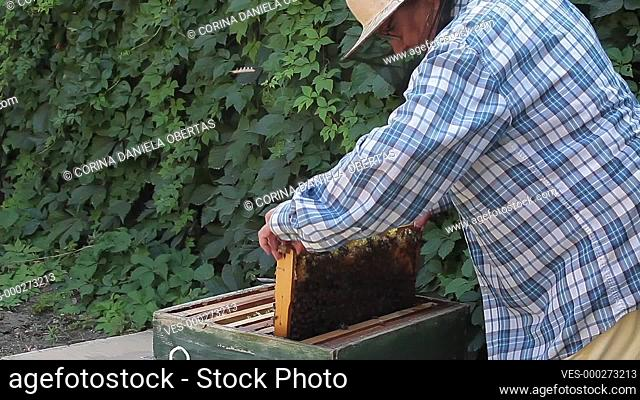 Beekeeper woman inspecting frames inside the beehave