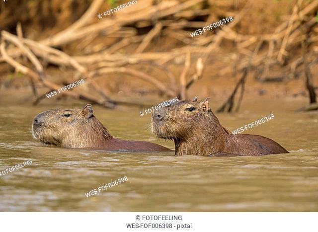 South America, Brasilia, Mato Grosso do Sul, Pantanal, Cuiaba River, Capybaras, Hydrochoerus hydrochaeris, swimming