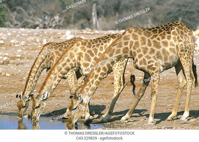 Southern Giraffes (Giraffa camelopardalis giraffa) drinking at a waterhole. Etosha National Park. Namibia
