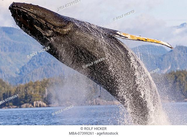 Humpback whale (Megaptera novaengliae) breaching in front of the British Columbia Coastal Mountains in Queen Charlotte Strait off Vancouver Island