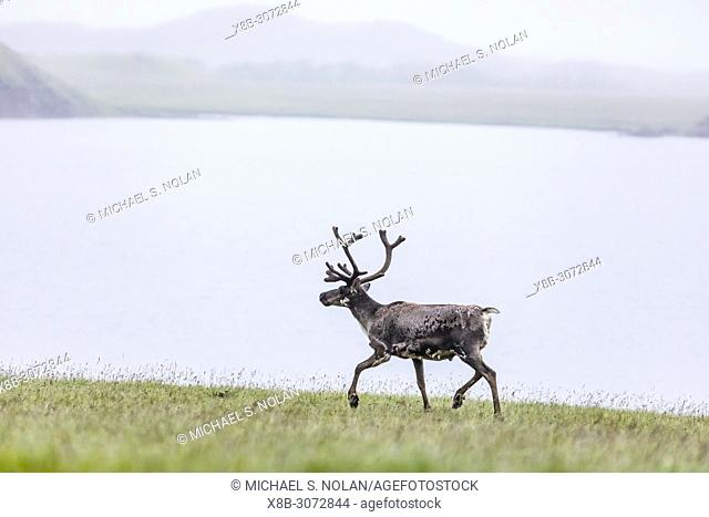 An adult wild bull reindeer, Rangifer tarandus, on the southeast coast of Iceland