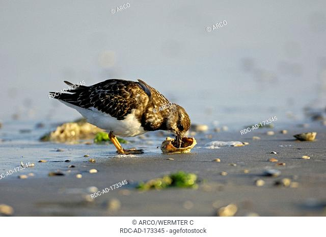 Ruddy Turnstone, Island Ameland, Netherlands, Arenaria interpres, side