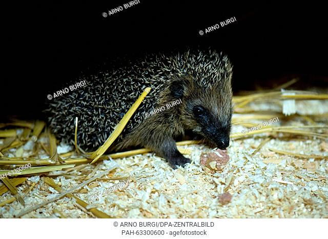 A young hedgehog in the rescue centre 'Igelnest' in Doebra, Germany, 3 November 2015. As a surrogate mother for hedgehogs Kerstin Vollrath has a lot to do...