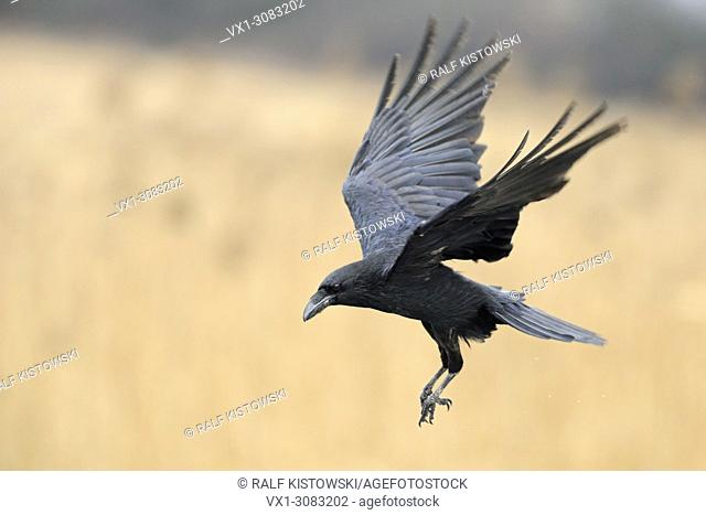 Common Raven ( Corvus corax ) flying in, surrounded by golden colored reed, wildlife, Europe