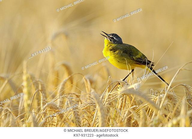 Yellow Wagtail, Motacilla flava, Germany