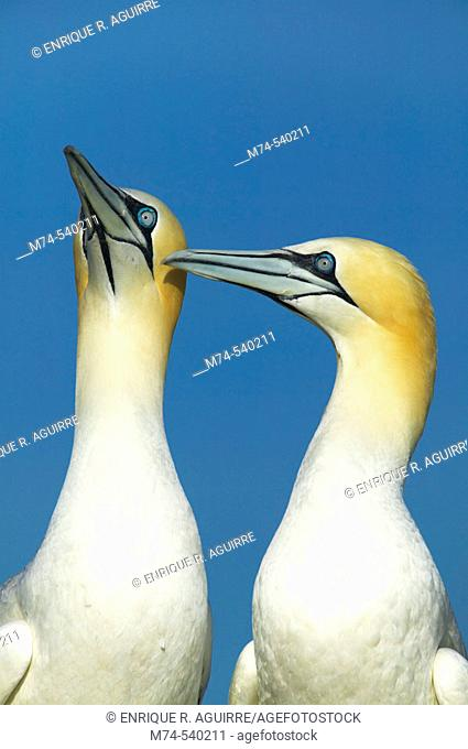 A pair of Gannets (Morus capensis) during courtship