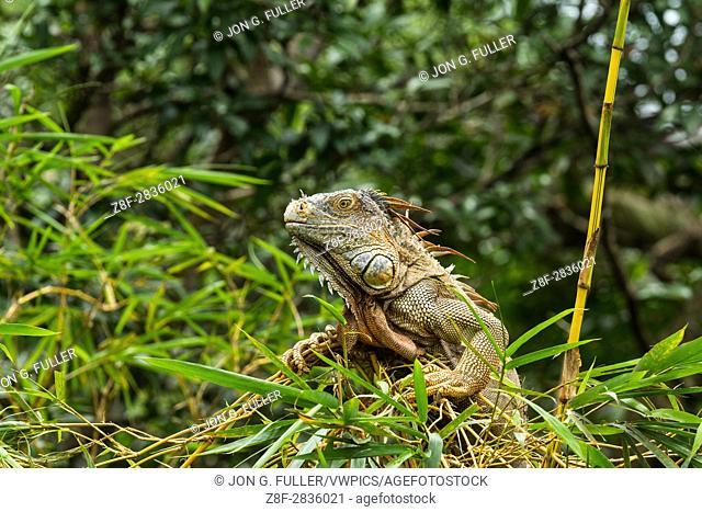 A large adult Green Iguana, Iguana iguana, in a tree in the rainforest in Costa Rica