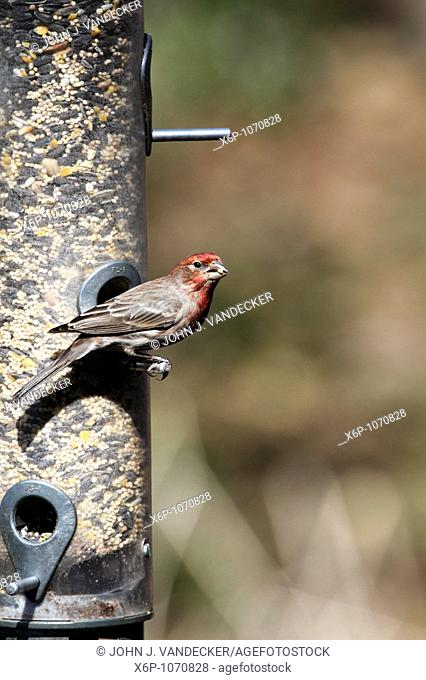 Male House Finch, Carpodacus mexicanus, at bird feeder  New Jersey, USA, North America