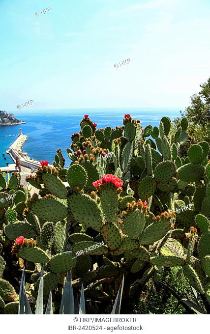 Opuntia (Opuntia) in flower, views of the harbour entrance of Nice, Cote d'Azur, France, Europe