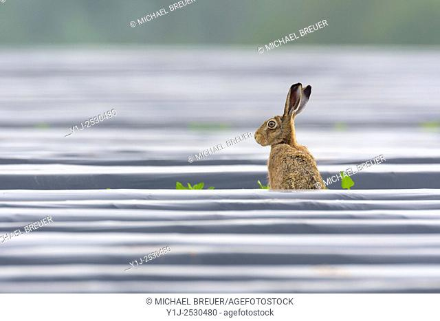 European brown hare (Lepus europaeus) on field with plastic foil, Summer, Hesse, Germany, Europe