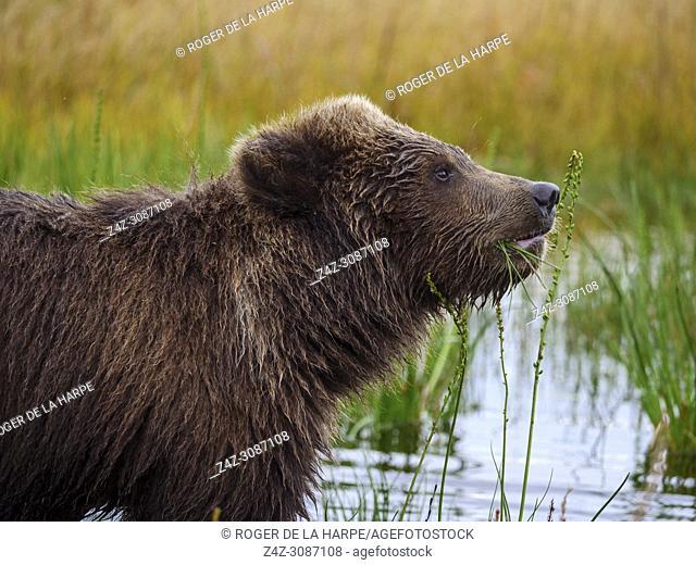 Coastal brown bear, also known as Grizzly Bear (Ursus Arctos) cub feeding on grass. South Central Alaska. United States of America (USA)