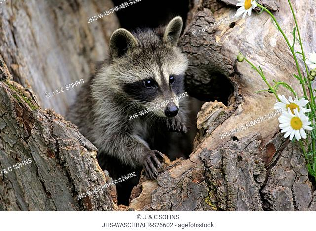North American Raccoon, common raccoon, North American raccoon, (Procyon lotor), young on tree alert, Pine County, Minnesota, USA, North America