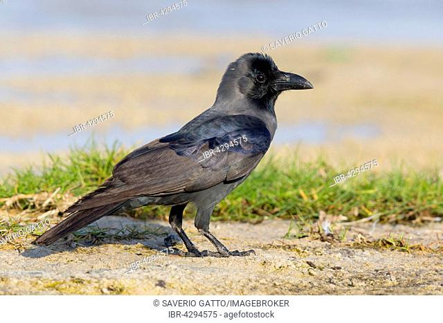 House Crow (Corvus splendens), standing on the ground, Salalah, Dhofar, Oman