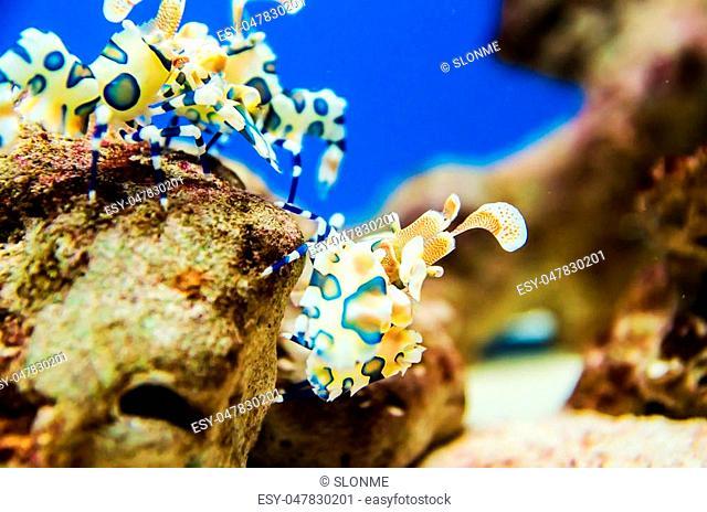 Harlequin Shrimp ,Painted Harlequin Shrimp