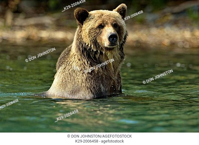 Grizzly bear (Ursus arctos)- Hunting sockeye salmon in a salmon river during spawning season, Chilcotin Wilderness, BC Interior, Canada