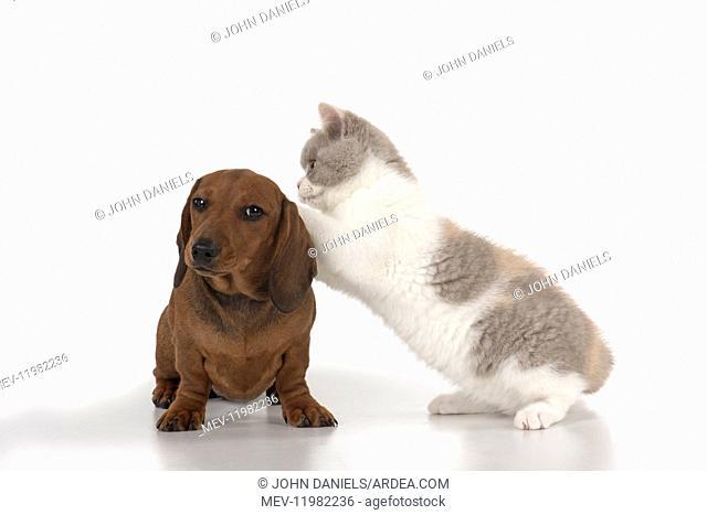 DOG. Miniature Dachshund with British shothair cat