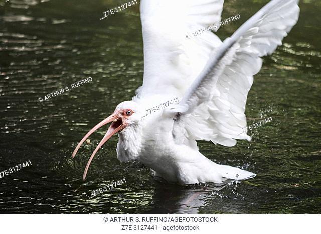 American white ibis (Eudocimus albus), competing for food. Florida, U. S. A. , North America
