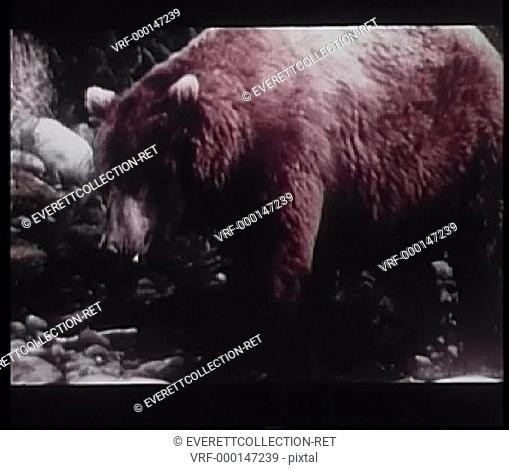 Bear catching and eating fish in stream