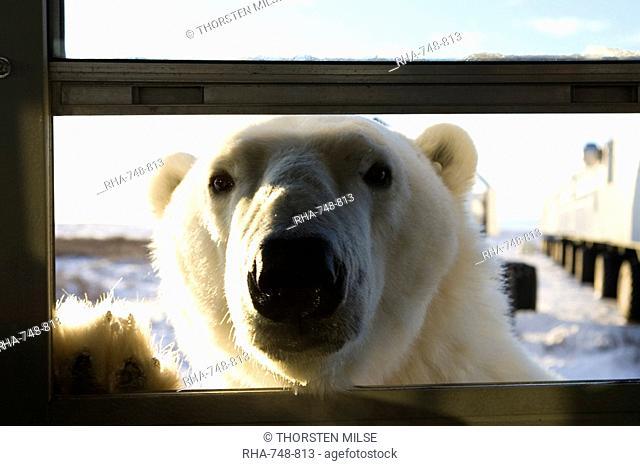 Polar bear Ursus maritimus, Churchill, Hudson Bay, Manitoba, Canada