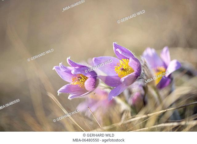 common pasque flower (Pulsatilla vulgaris) , Lower Austria, Austria, Europe