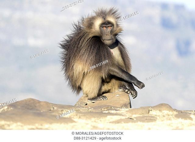 Ethiopia, Rift Valley, Debre Libanos, Gelada or Gelada baboon (Theropithecus gelada), dominant male, alpha male