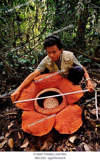 Botanist measuring Rafflesia flower, Rafflesia keithii, Mt Kinabalu National Park, Sabah, Borneo