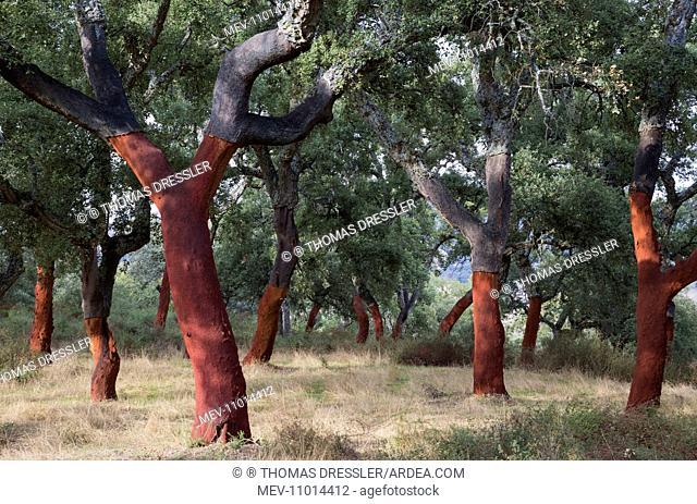 Cork Oak Trees - recently stripped Sierra de Grazalema - Malaga province, Andalusia, Spain (Quercus suber)