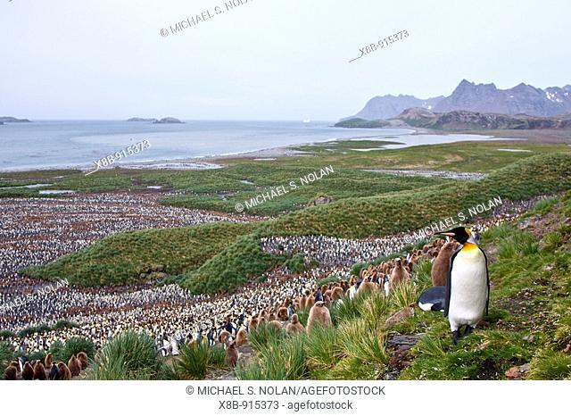 King Penguin Aptenodytes patagonicus breeding and nesting colonies on South Georgia Island, Southern Ocean  King penguins are rarely found below 60 degrees...
