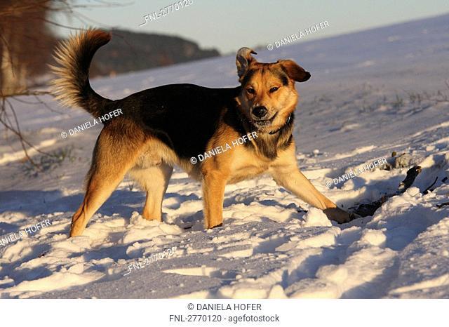German Shepherd walking in snow