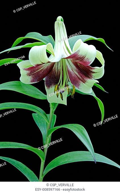 Lilium nepalense / Lis du Népal